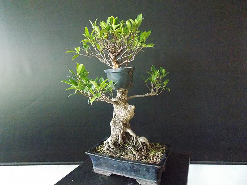 Ficus tiger Bark_alporque3